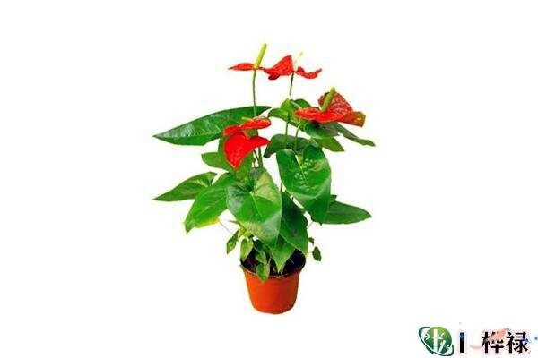 客厅最好养的招财风水植物