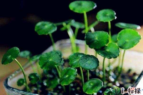 哪类植物是风水招财辟邪植物