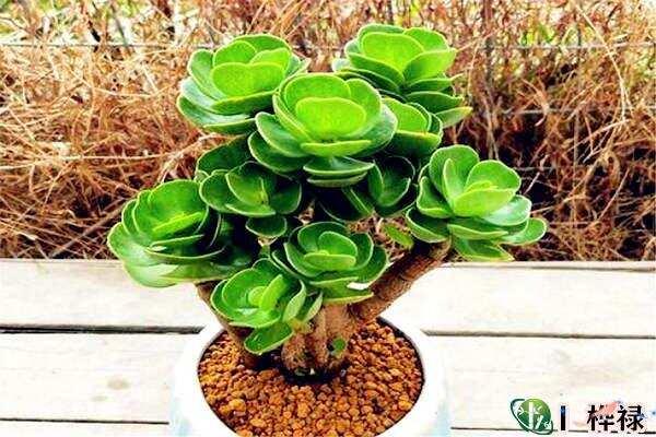 招财旺宅的客厅宜养植物