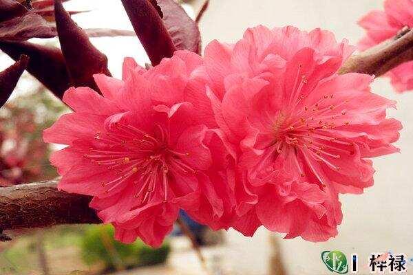 红艳桃花查询,红艳和桃花的区别  第2张