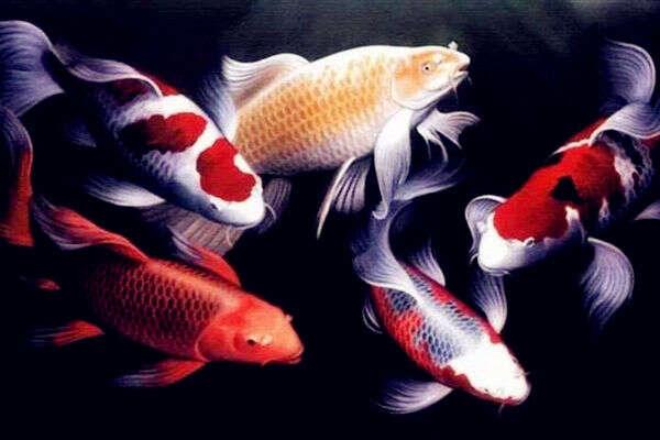 居家宜养风水鱼种类及宜养数量  第3张