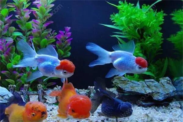 养什么鱼风水好,养什么颜色的鱼招财