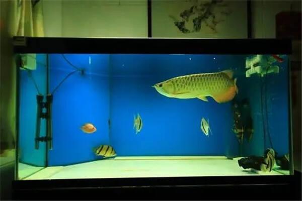 家里养金龙鱼需要注意什么