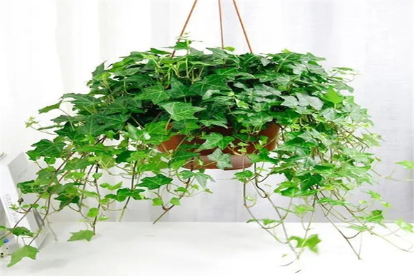 店铺宜养招财风水植物